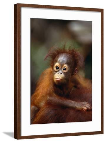 Baby Orangutan Clinging to Mother's Back-DLILLC-Framed Art Print