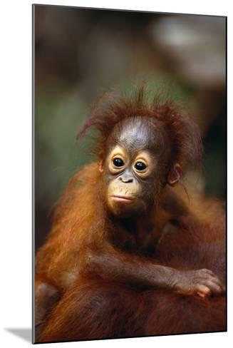 Baby Orangutan Clinging to Mother's Back-DLILLC-Mounted Photographic Print
