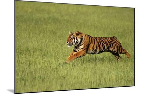 Bengal Tiger Running in Field-DLILLC-Mounted Photographic Print