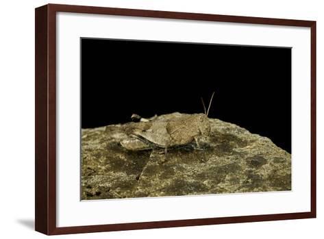 Oedipoda Caerulescens (Blue-Winged Grasshopper)-Paul Starosta-Framed Art Print