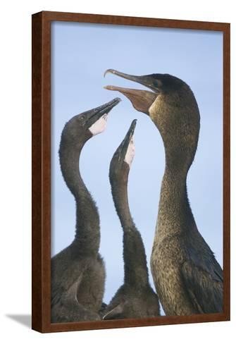 Cormorant Feeding Young-DLILLC-Framed Art Print