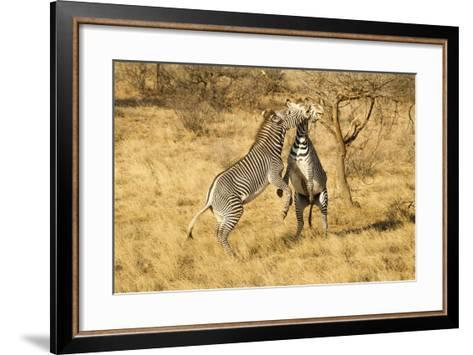 Grevy's Zebra Fighting-Mary Ann McDonald-Framed Art Print