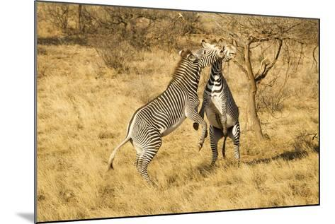Grevy's Zebra Fighting-Mary Ann McDonald-Mounted Photographic Print