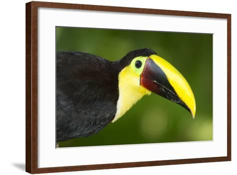 Chestnut-Mandibled Toucan-Mary Ann McDonald-Framed Art Print