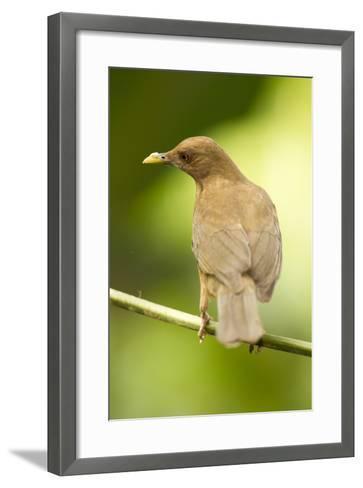Clay-Colored Robin-Mary Ann McDonald-Framed Art Print