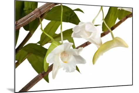 Dendrobium Arcuatum-Fabio Petroni-Mounted Photographic Print
