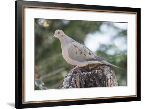 Mourning Dove-Gary Carter-Framed Art Print
