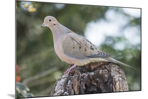 Mourning Dove-Gary Carter-Mounted Photographic Print