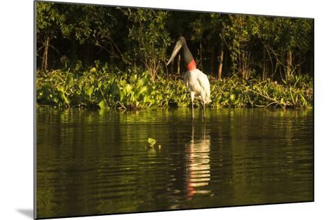 Jabiru Stork-Joe McDonald-Mounted Photographic Print