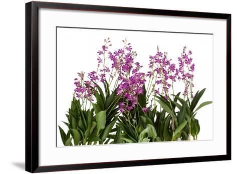Dendrobium Berry Oda1-Fabio Petroni-Framed Art Print