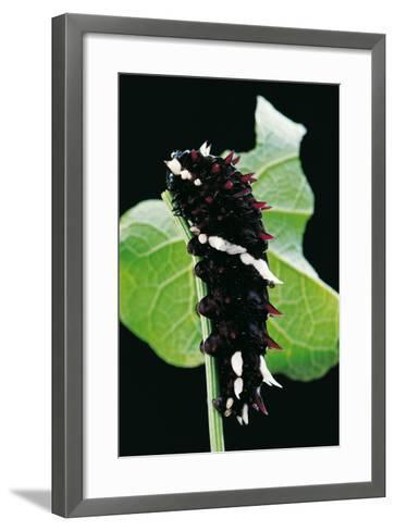 Parides Iphidamas (Iphidamas Cattleheart, Transandean Cattleheart) - Caterpillar-Paul Starosta-Framed Art Print