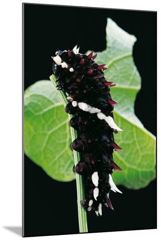 Parides Iphidamas (Iphidamas Cattleheart, Transandean Cattleheart) - Caterpillar-Paul Starosta-Mounted Photographic Print