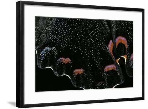 Papilio Bianor (Chinese Peacock Butterfly) - Wings Detail-Paul Starosta-Framed Art Print