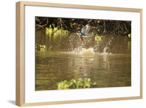 Ringed Kingfisher-Joe McDonald-Framed Art Print