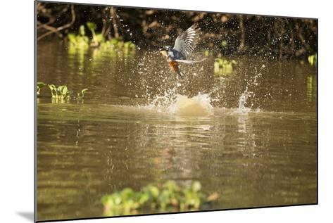 Ringed Kingfisher-Joe McDonald-Mounted Photographic Print