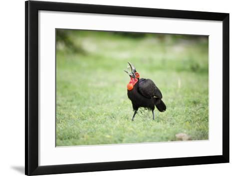 A Ground Hornbill Eats a Frog-Richard Du Toit-Framed Art Print