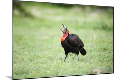 A Ground Hornbill Eats a Frog-Richard Du Toit-Mounted Photographic Print