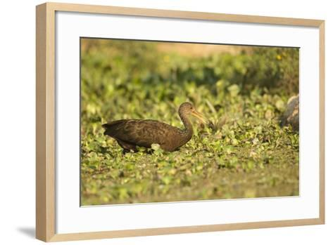 Limpkin-Joe McDonald-Framed Art Print