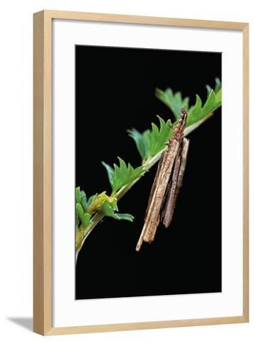 Bagworm Moth, Case Moth - Caterpillar Extending its Head and Thorax from the Case-Paul Starosta-Framed Art Print