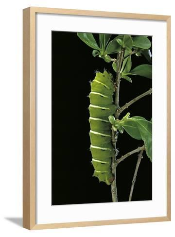 Rothschildia Jacobaeae (Silkmoth, Saturniid Moth) - Caterpillar-Paul Starosta-Framed Art Print