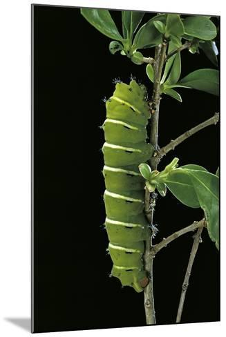 Rothschildia Jacobaeae (Silkmoth, Saturniid Moth) - Caterpillar-Paul Starosta-Mounted Photographic Print