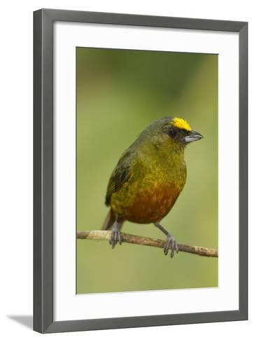 Olive-Backed Euphonia-Mary Ann McDonald-Framed Art Print