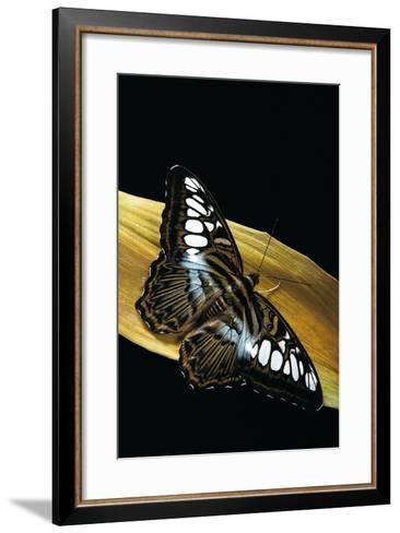 Parthenos Sylvia (Clipper Butterfly)-Paul Starosta-Framed Art Print