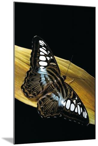 Parthenos Sylvia (Clipper Butterfly)-Paul Starosta-Mounted Photographic Print