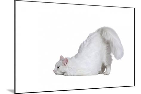 Turkish Angora Cat-Fabio Petroni-Mounted Photographic Print