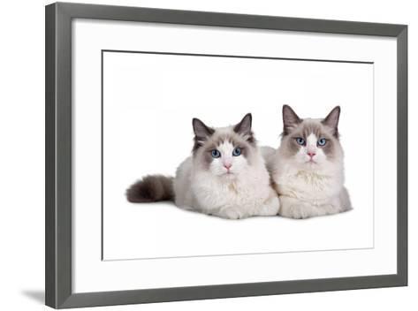 Ragdoll Cat-Fabio Petroni-Framed Art Print