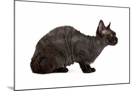 Devon Rex Cat-Fabio Petroni-Mounted Photographic Print