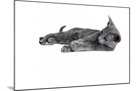 Blue Russia Cat-Fabio Petroni-Mounted Photographic Print