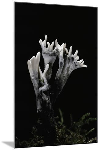 Xylaria Hypoxylon (Stag's Horn Fungus, Candlestick Fungus, Candlesnuff Fungus, Carbon Antlers)-Paul Starosta-Mounted Photographic Print