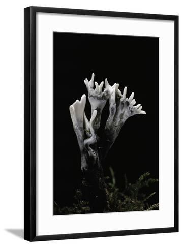 Xylaria Hypoxylon (Stag's Horn Fungus, Candlestick Fungus, Candlesnuff Fungus, Carbon Antlers)-Paul Starosta-Framed Art Print