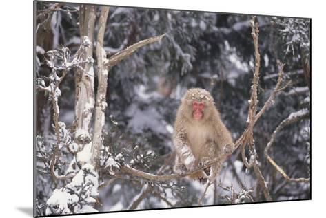Japanese Macaque Perched on Tree-DLILLC-Mounted Photographic Print