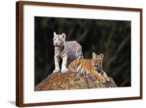 White Tiger and Orange Tiger on Rock-DLILLC-Framed Art Print