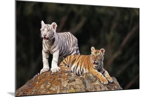 White Tiger and Orange Tiger on Rock-DLILLC-Mounted Photographic Print
