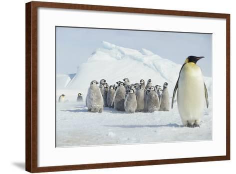 Group of Emperor Penguin Chicks-DLILLC-Framed Art Print