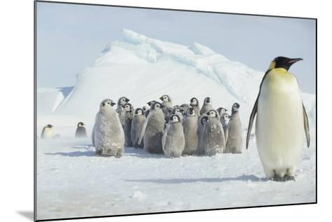 Group of Emperor Penguin Chicks-DLILLC-Mounted Photographic Print
