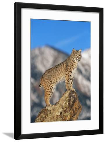 Bobcat Standing on Boulder-DLILLC-Framed Art Print