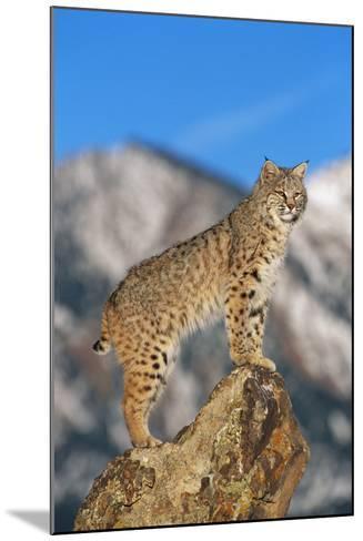 Bobcat Standing on Boulder-DLILLC-Mounted Photographic Print