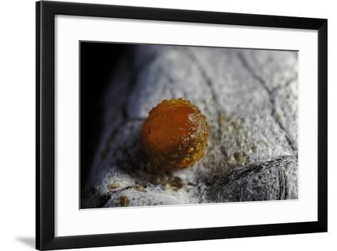 Atrophaneura Polyeuctes (Common Windmill) - Egg-Paul Starosta-Framed Art Print