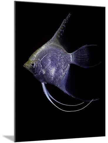 Pterophyllum Scalare (Angelfish, Freshwater Angelfish)-Paul Starosta-Mounted Photographic Print