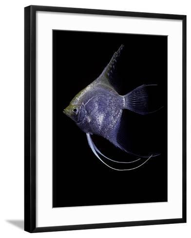 Pterophyllum Scalare (Angelfish, Freshwater Angelfish)-Paul Starosta-Framed Art Print