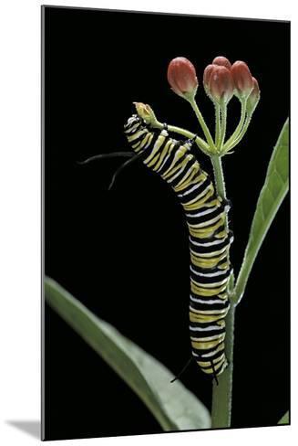 Danaus Plexippus (Monarch Butterfly) - Caterpillar Feeding on Milkweed Flower-Paul Starosta-Mounted Photographic Print