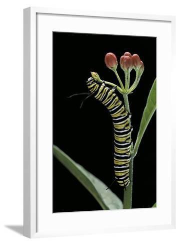 Danaus Plexippus (Monarch Butterfly) - Caterpillar Feeding on Milkweed Flower-Paul Starosta-Framed Art Print