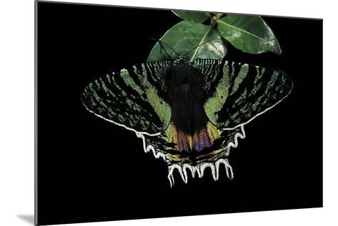 Chrysiridia Croesus (East African Sunset Moth)-Paul Starosta-Mounted Photographic Print