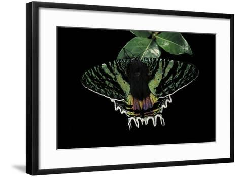 Chrysiridia Croesus (East African Sunset Moth)-Paul Starosta-Framed Art Print