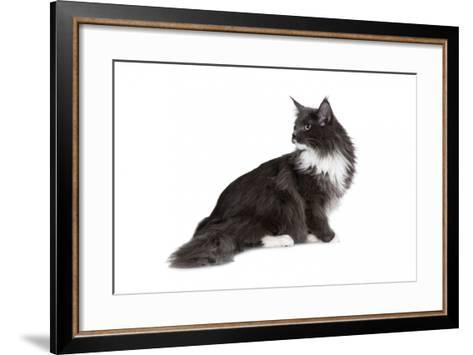 Maine Coon Cat-Fabio Petroni-Framed Art Print