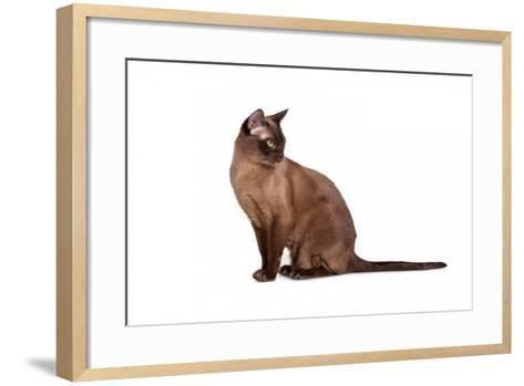 Burmese Cat-Fabio Petroni-Framed Art Print